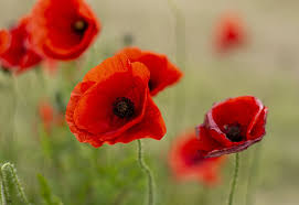 Close up image of poppies